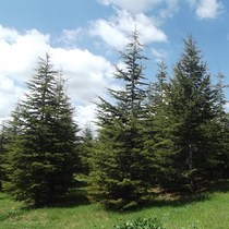 Sedir Ağaçları